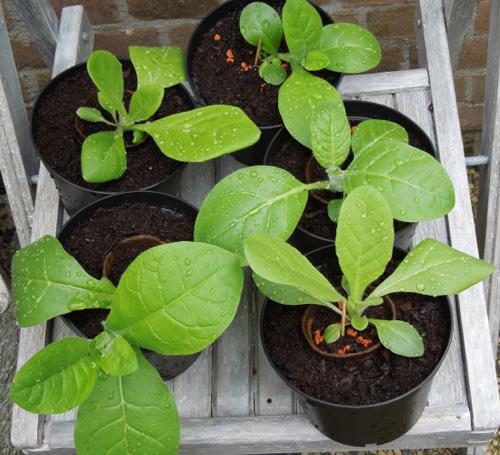 jonge tabkasplantjes in pot